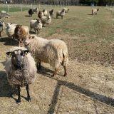 ovce-I.
