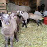 ovce-II.