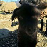ovce-III.